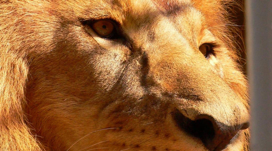 A close up image of a male lion's face in Southern Africa